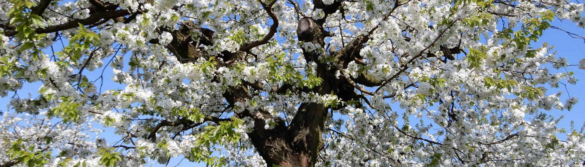 kirschblüte in wesendahl  ©Elke Fritzen
